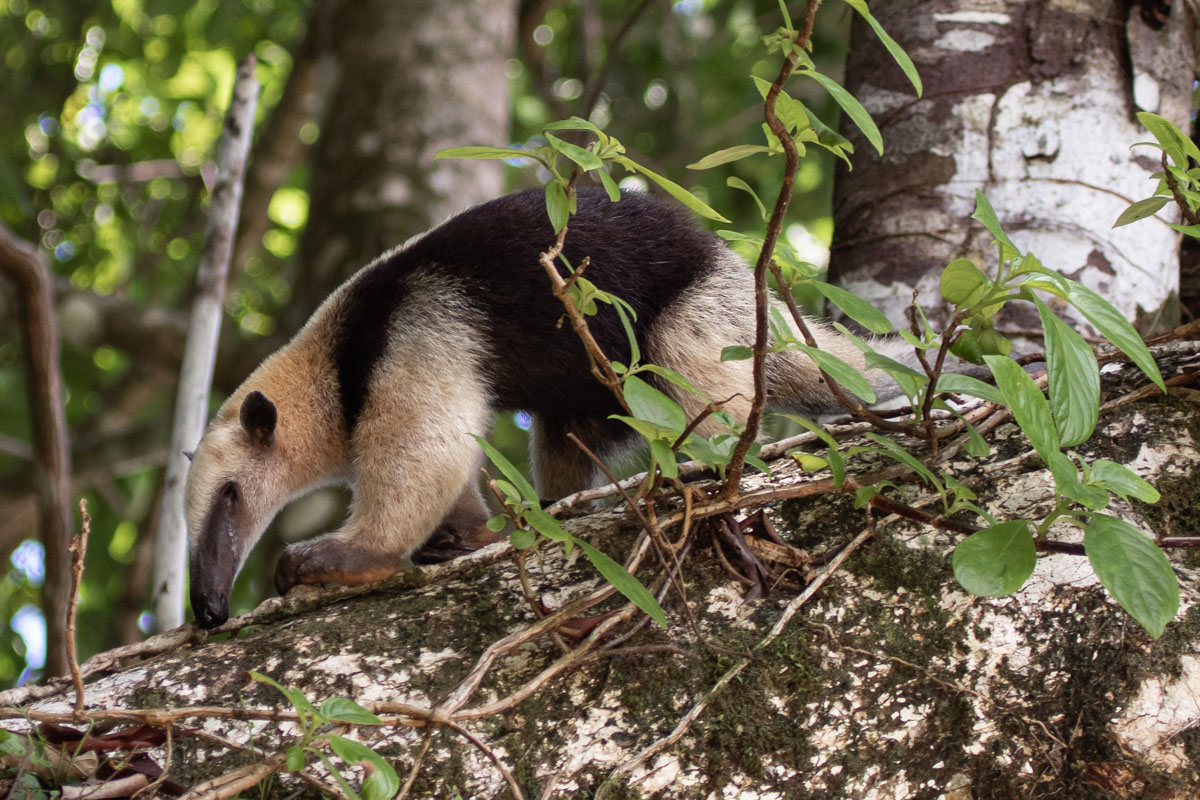 Northern Tamandua - Manuel Antonio National Park