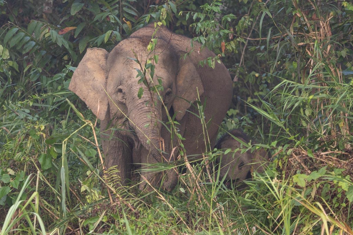 Bornean Pygmy Elephant and Calf