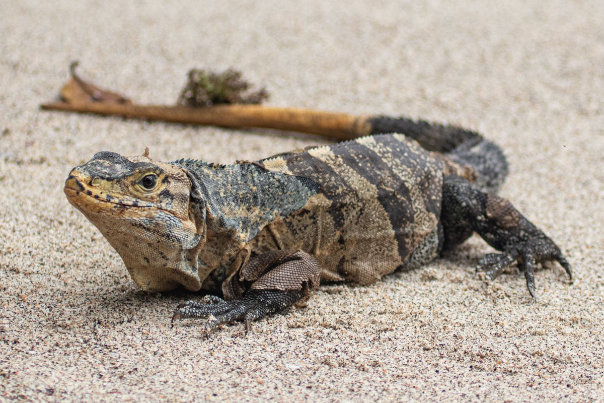 Black Spiny-tailed Iguana - Manuel Antonio National Park