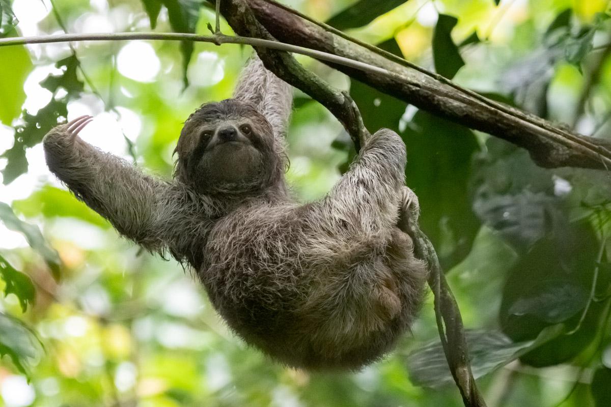 3 toed sloth Costa Rica