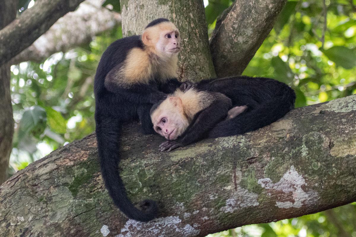 White-faced Capuchin - Manuel Antonio National Park