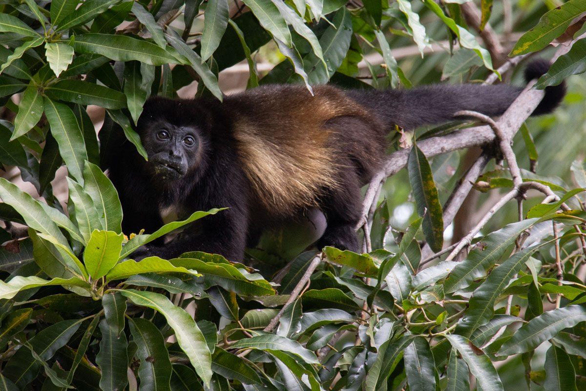 Mantled Howler Monkey - Corcovado National Park