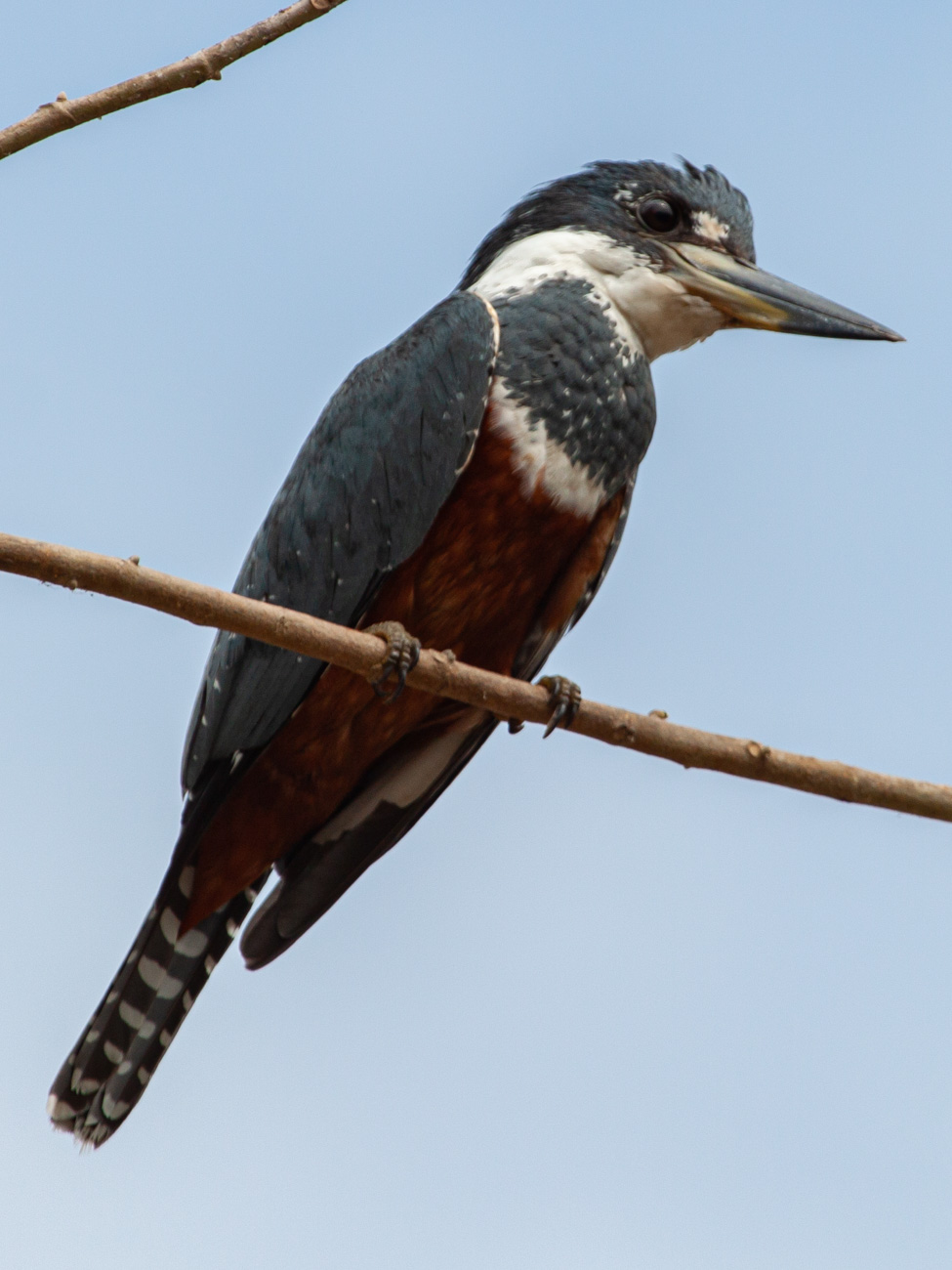 Ringed Kingfisher - Manuel Antonio National Park