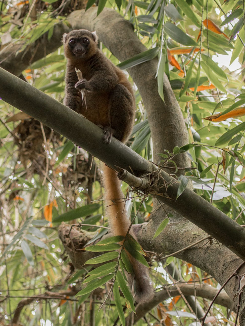 Golden Bamboo Lemurs, Ranomafana National Park