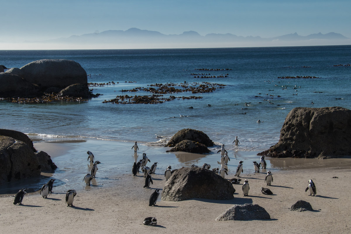 Penguins of Boulders Beach - Things to do in South Africa