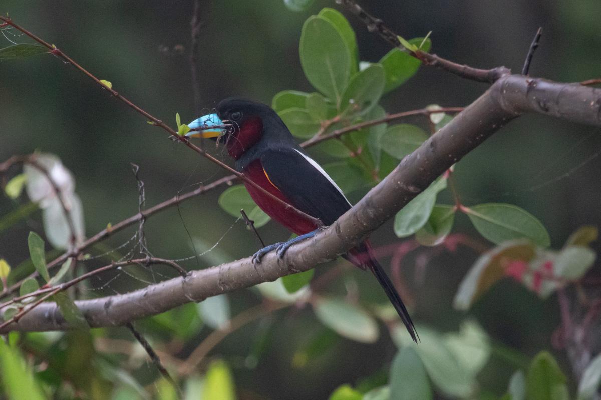 Red & Black Broadbill - Kinabatangan River