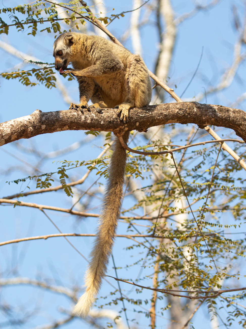 red-fronted brown lemur in Kirindy Forest