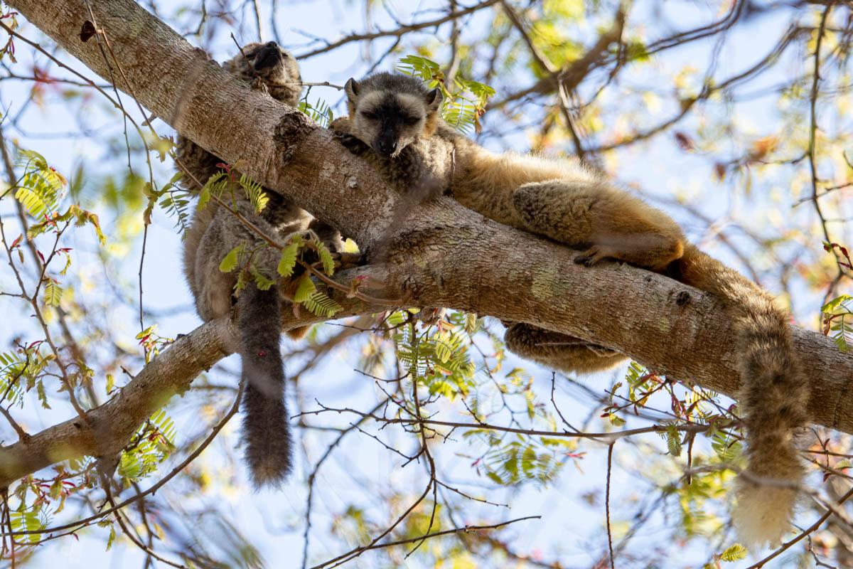 Sleeping Red-fronted brown lemur