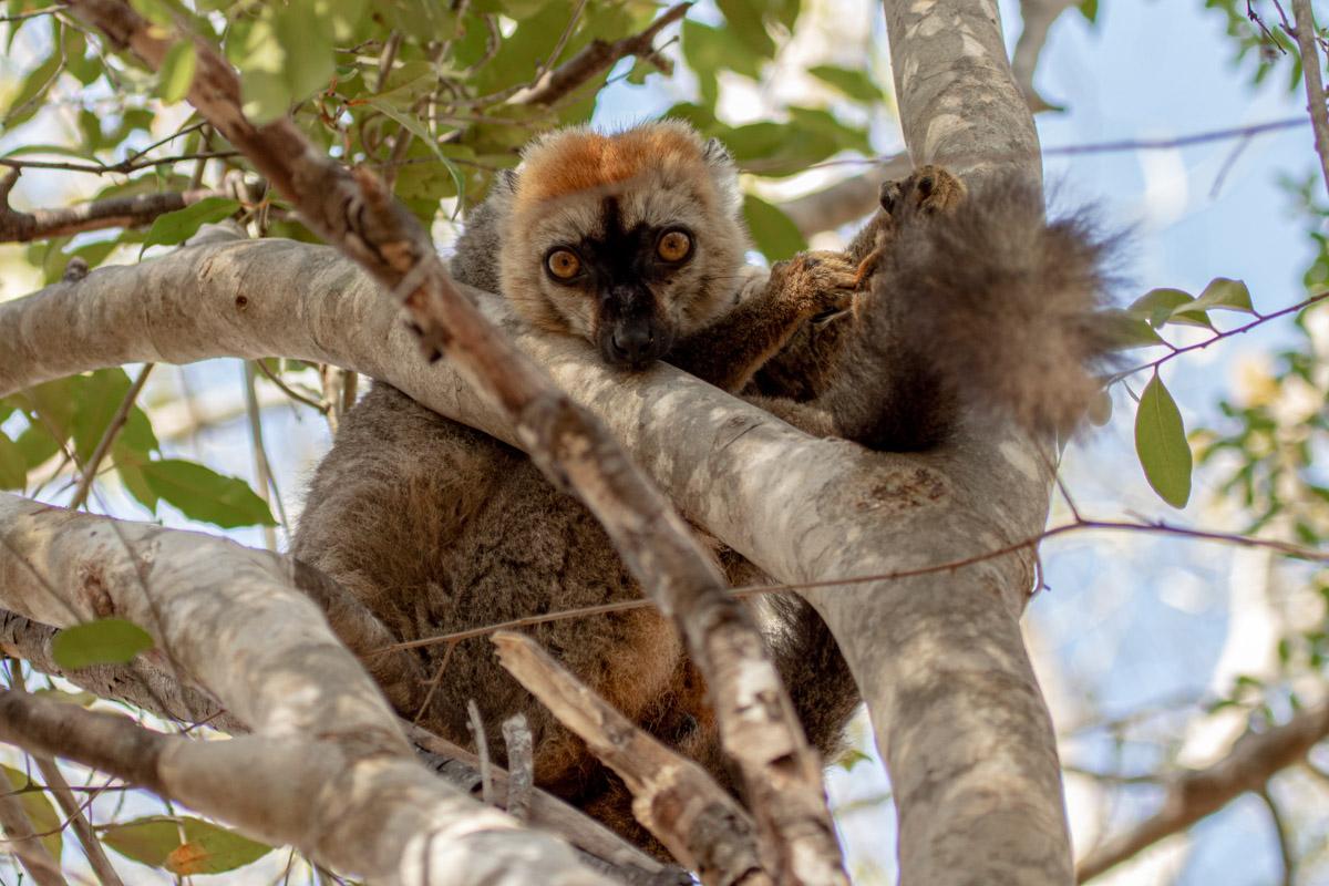 red-fronted brown lemur in Kirindy