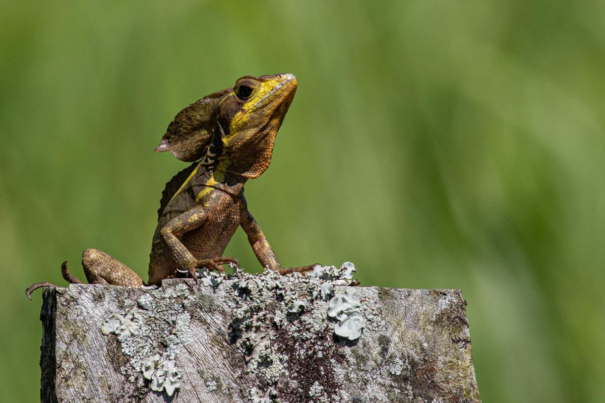 Jesus Christ Lizard - La Fortuna