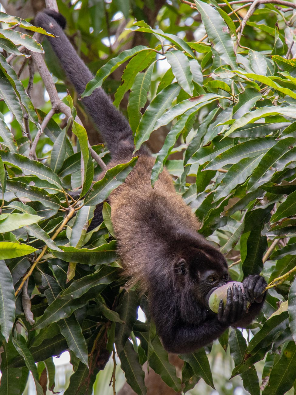 Howler Monkey feeding in Mango Tree