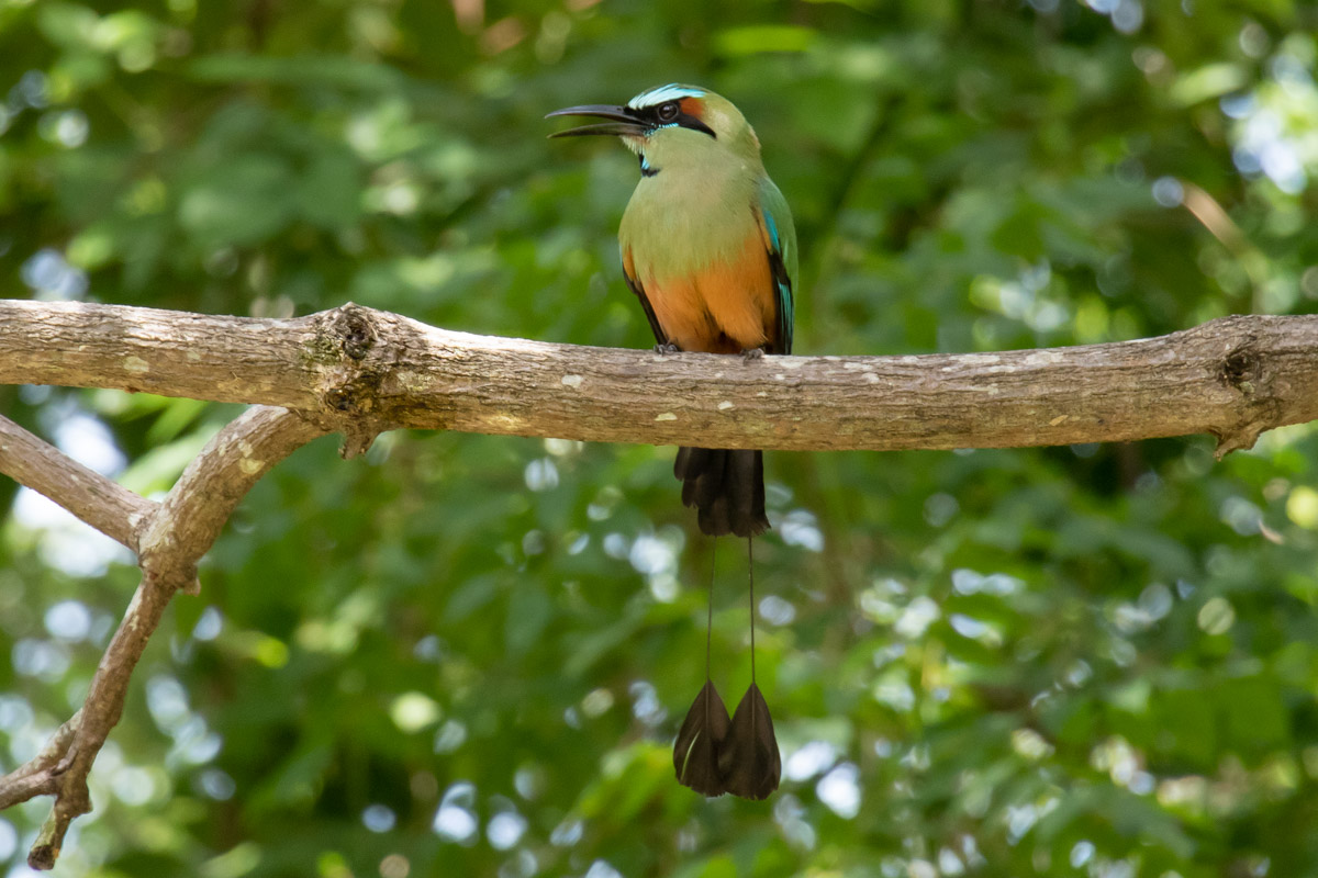 Turquoise-browed Motmot - Laguna de Apoyo