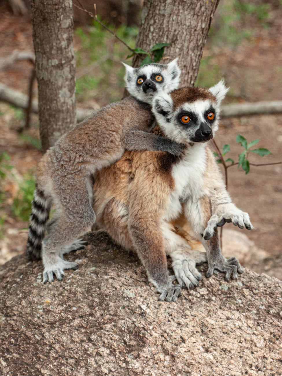 Ring-tailed Lemur and baby, Anja Reserve