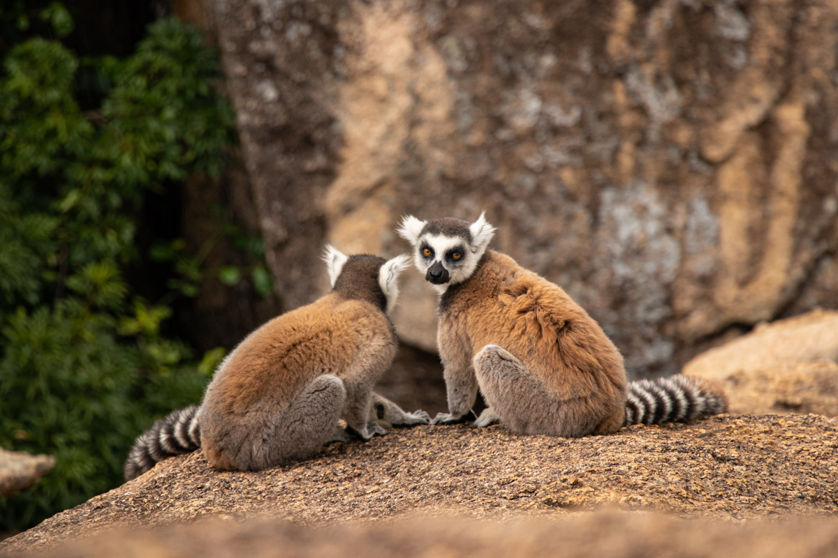 Ring-tailed Lemurs on the granite boulders of Anja Community Reserve