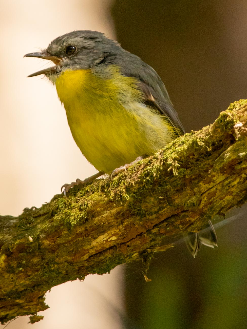 Eastern-Yellow Robin - Budderoo National Park