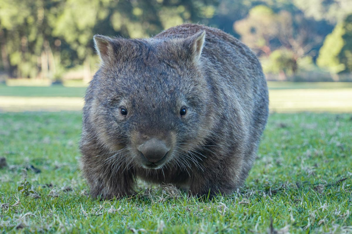 Wombats of Bendeela Recreation Area