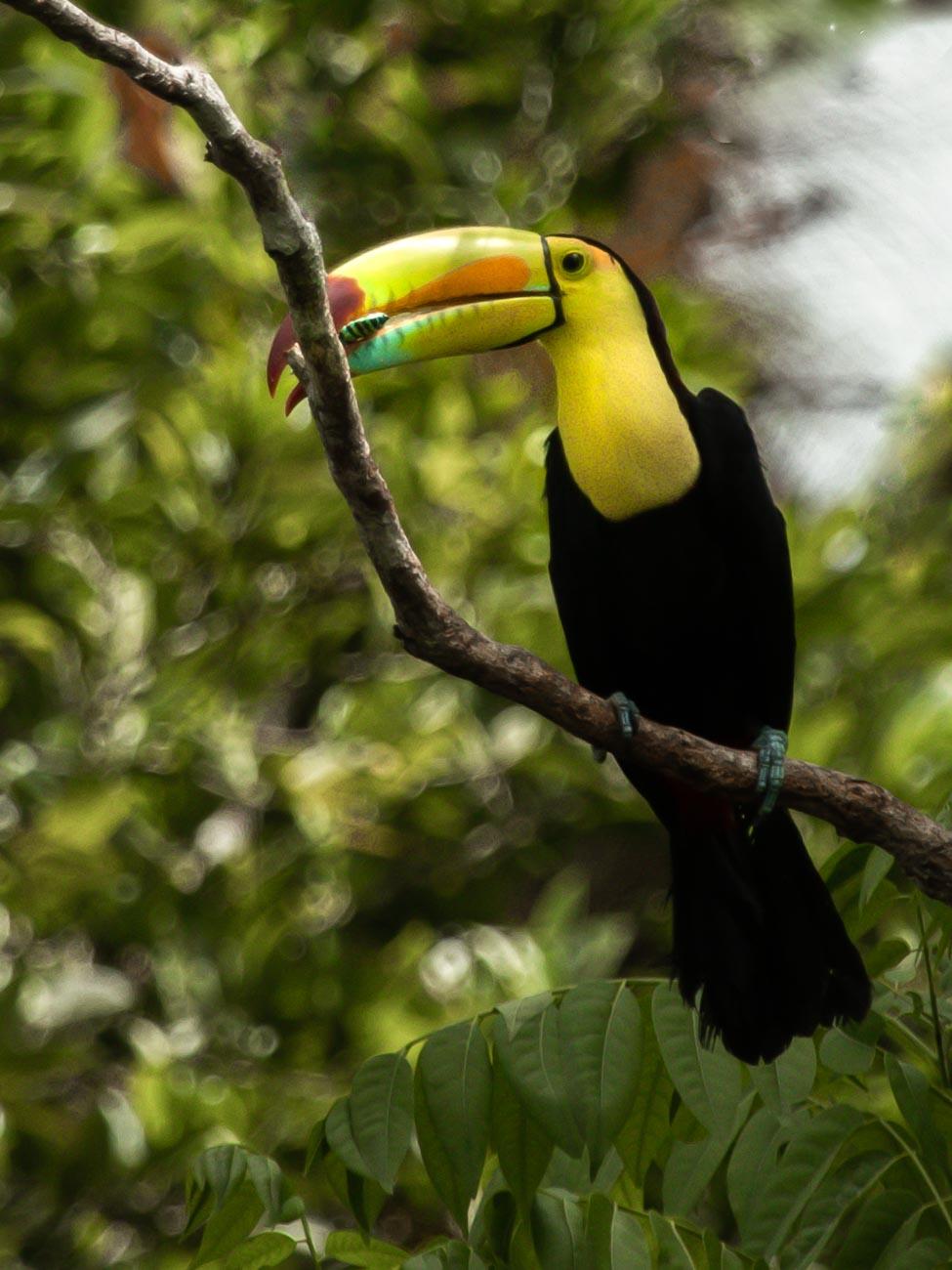 Keel-billed Toucan - La Fortuna
