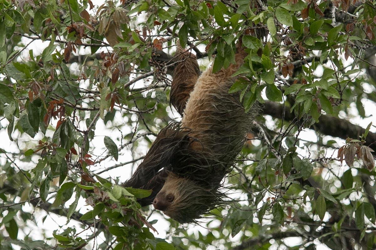 Hoffman's Two-toed Sloth - La Fortuna