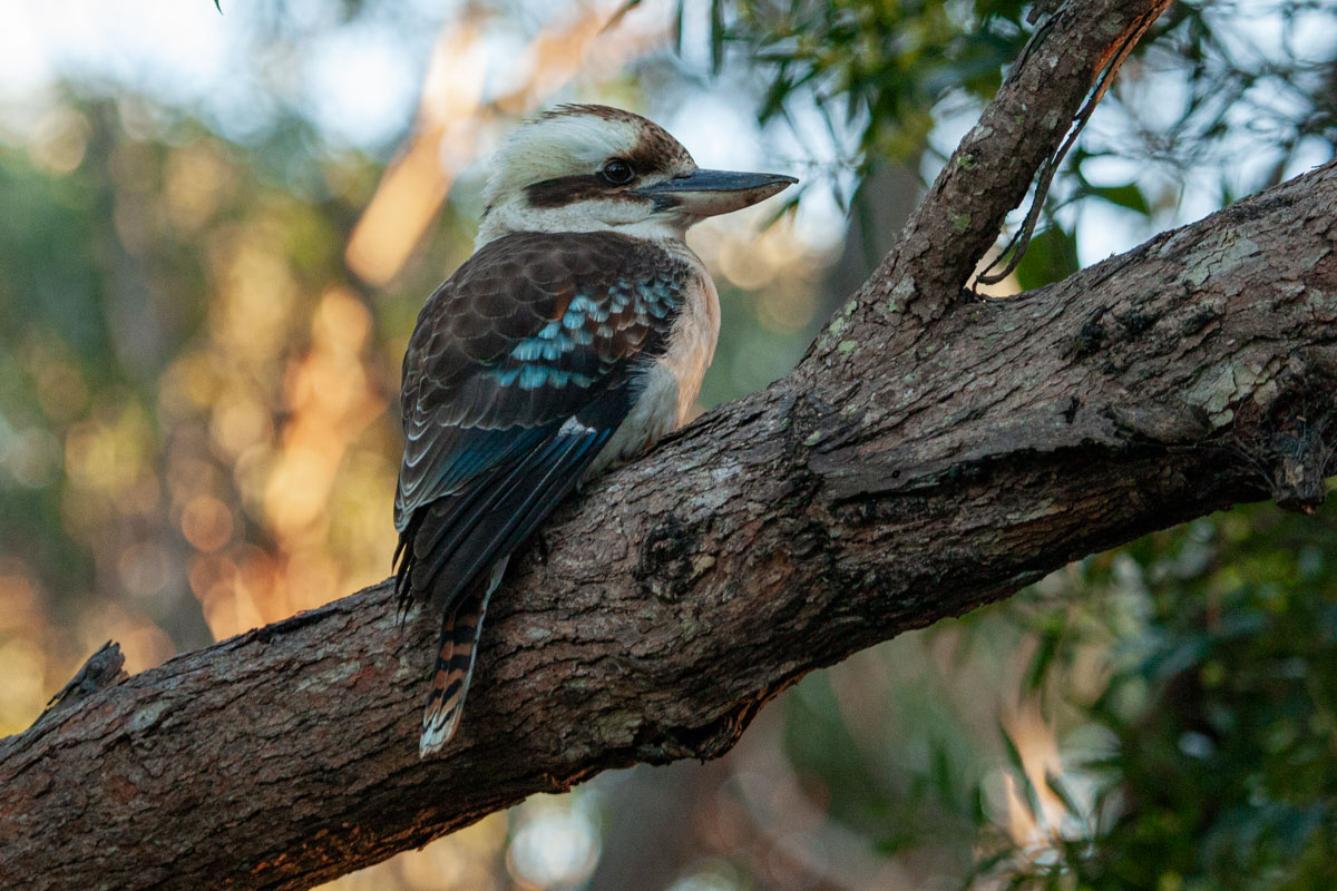 Kookaburra at Budderoo National Park