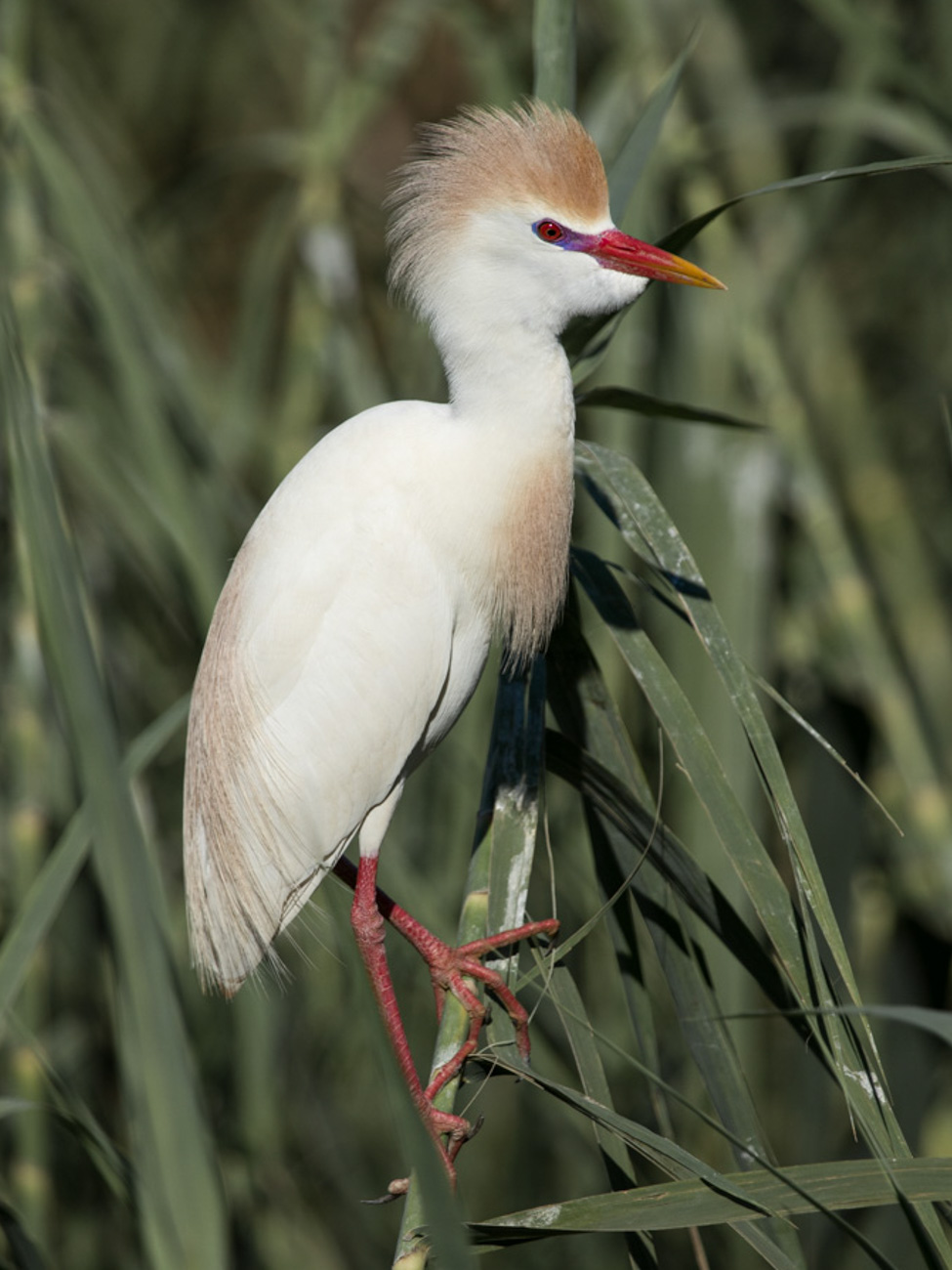 Cattle Egret, Parc National d'Ankarafantsika - Madagascar