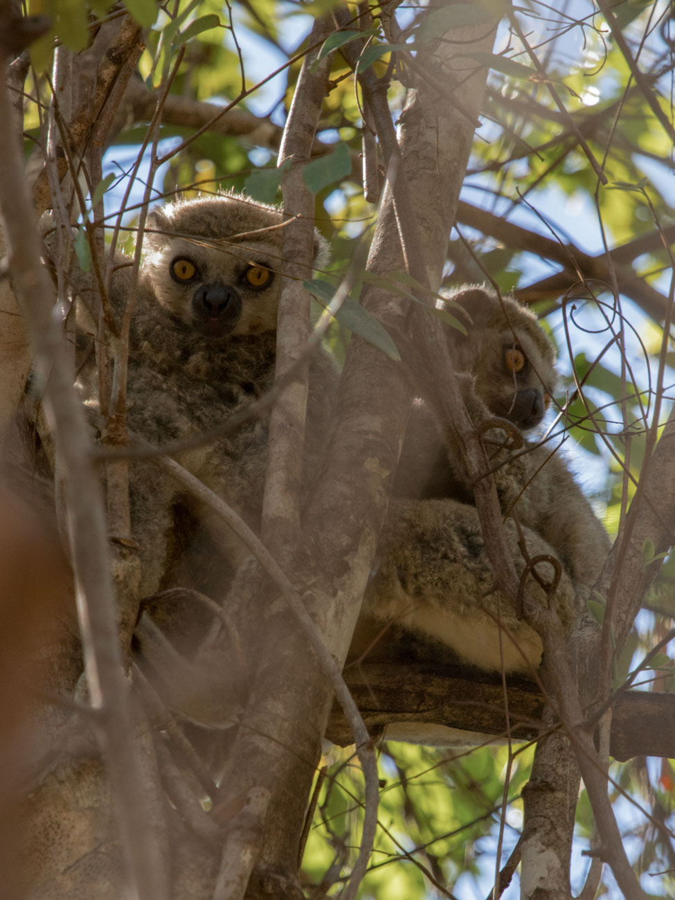 Woolley Lemur, Ankarafantsika National Park - Madagascar