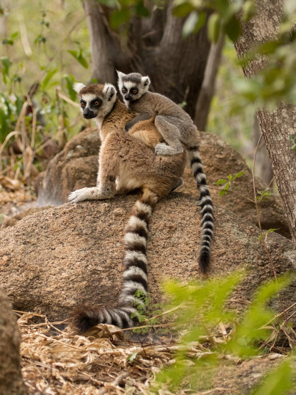 Ring-tailed Lemur and baby, Anja Community Reserve