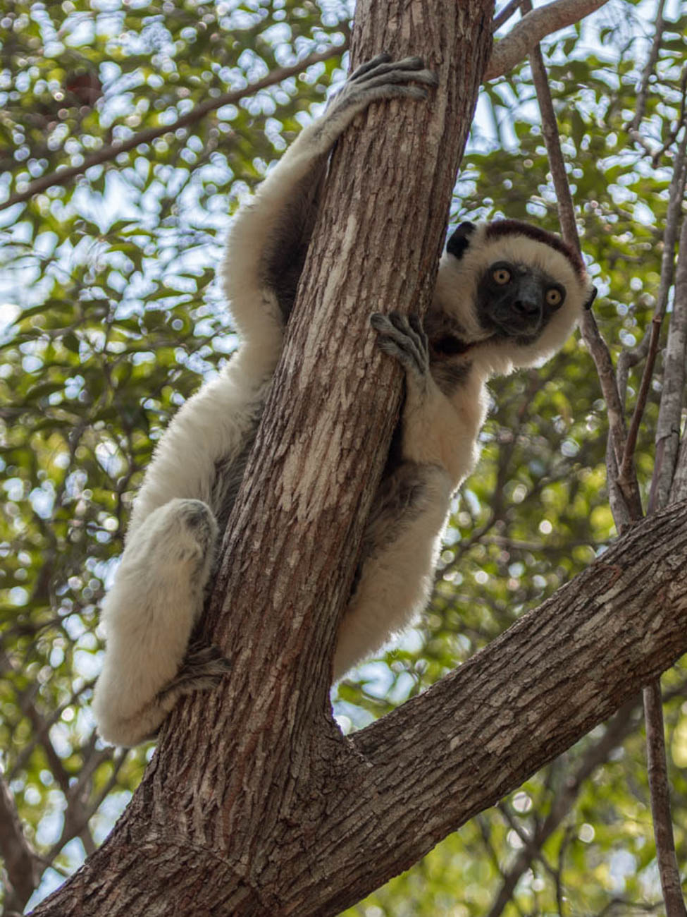 Verreaux Sifaka at Kirindy Forest