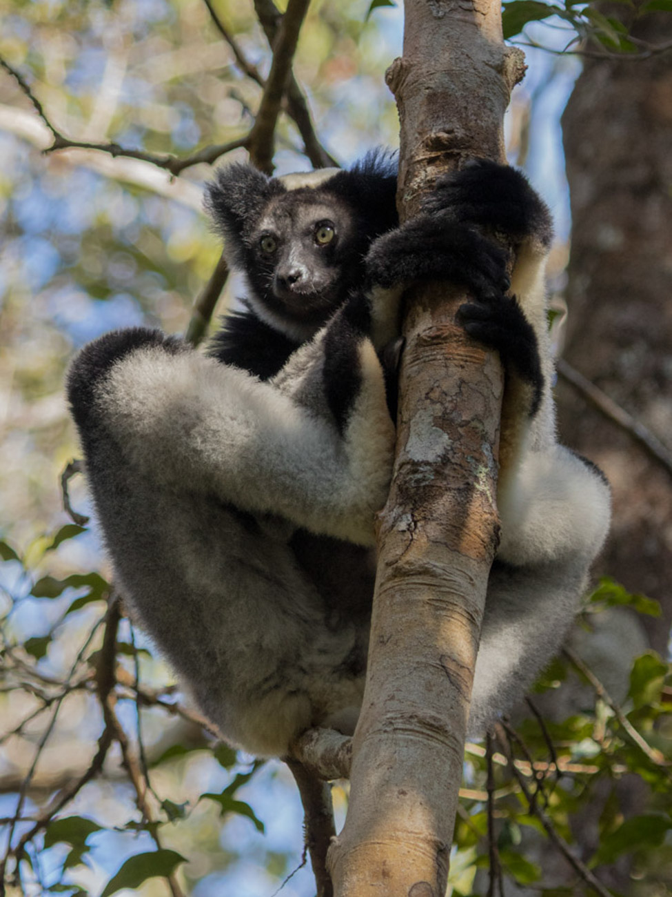 Indri, Reserve Speciale d'Analamazaotra (Andasibe National Park)