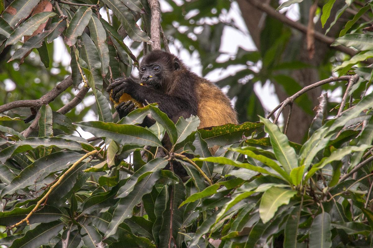 Laguna De Apoyo - Howler Monkey