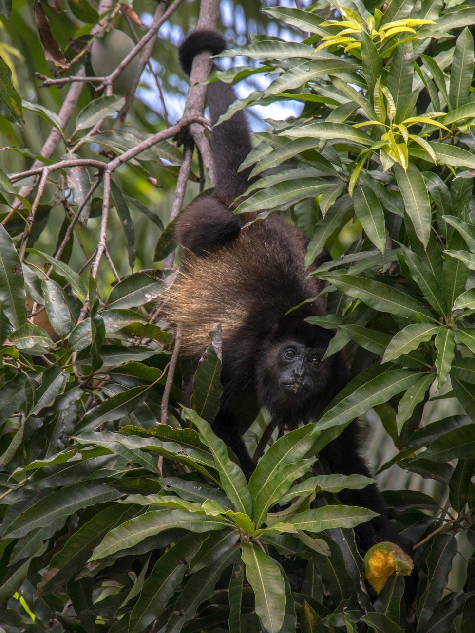 Howler Monkey in Mango Tree