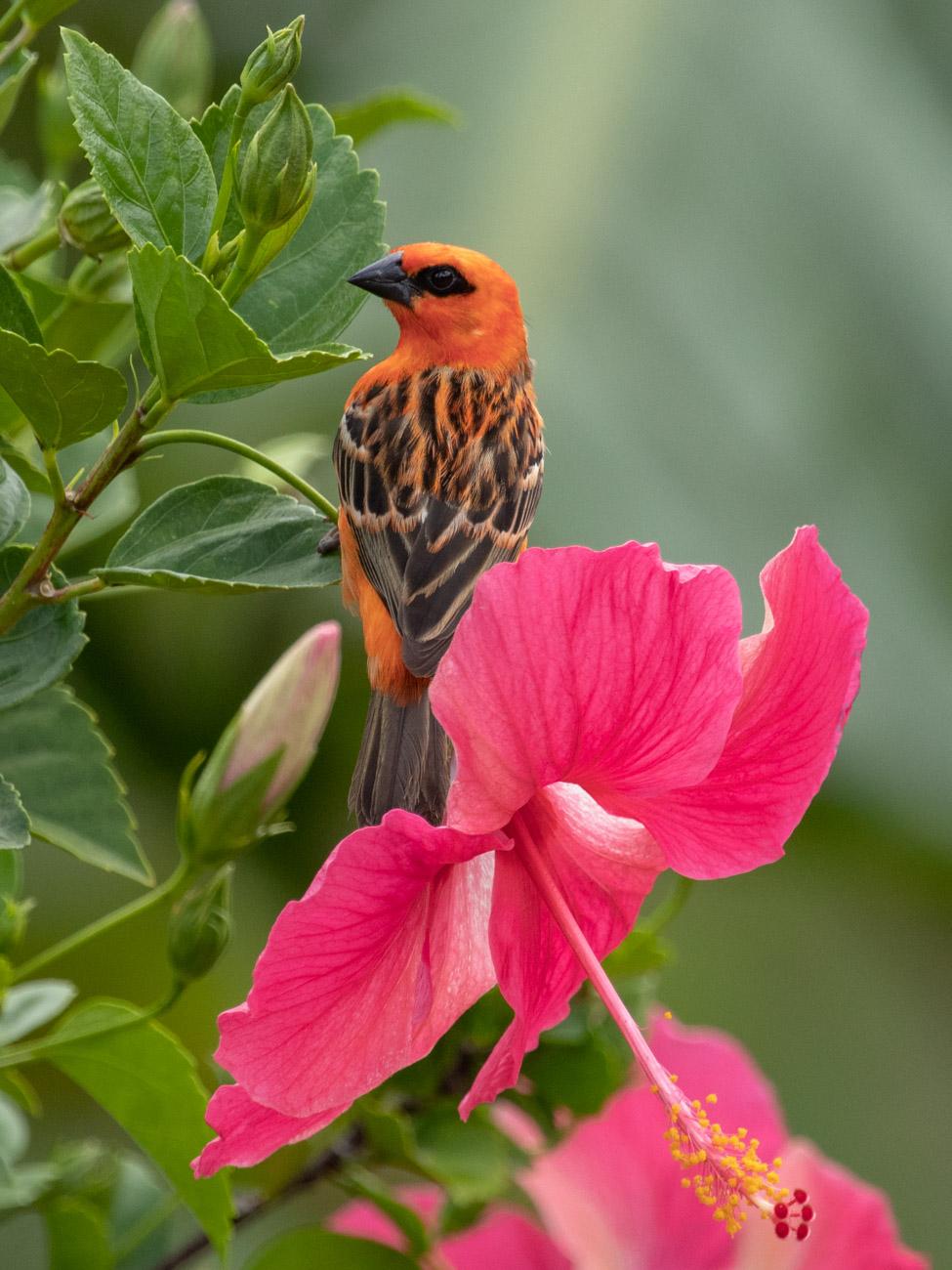Red Fody - Seychelles