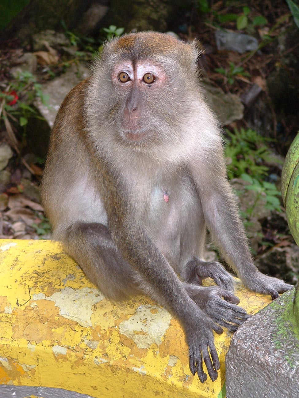 Macaque at Batu Caves
