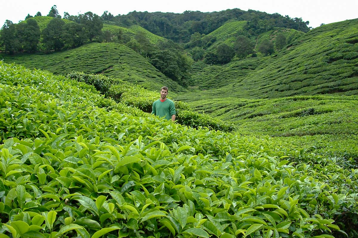 Cameron Highlands Tea Plantation - Places you must see in Malaysia
