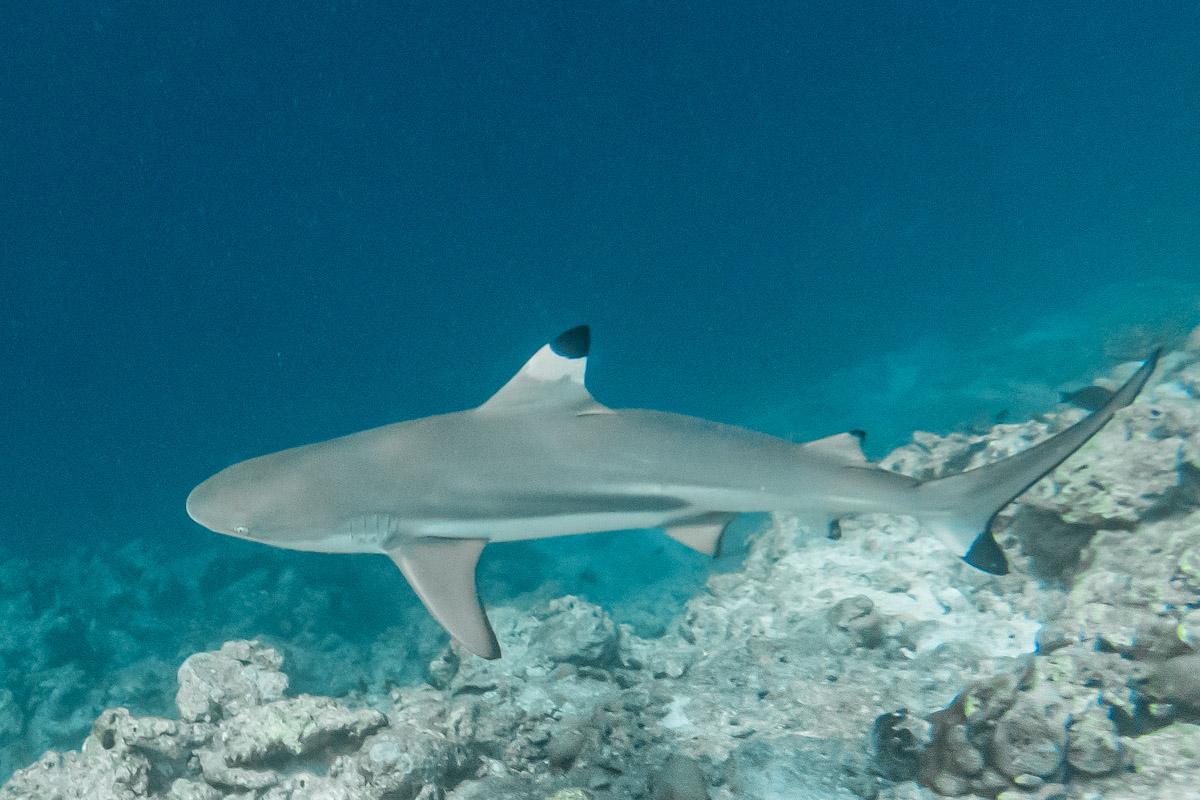 Snorkelling with Blacktip Reef Sharks