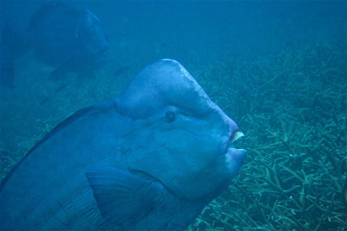 Green Humphead Parrotfish (Bumphead Parrotfish) - Perhentian Islands
