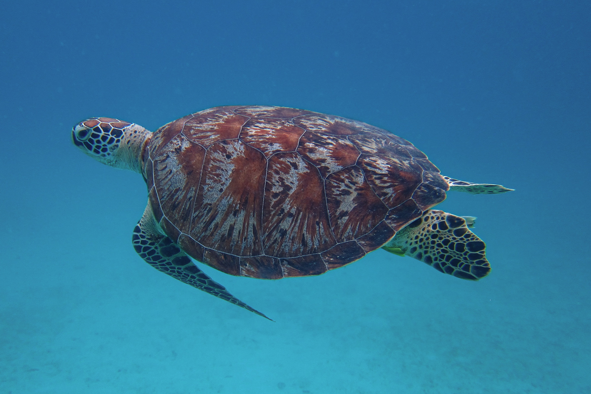 Perhentian Islands - Diving with sea turtles