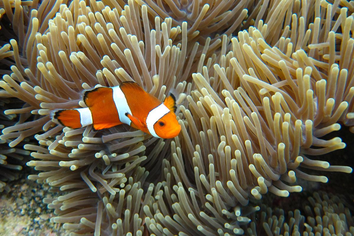 Perhentian Islands - Finding Nemo (False Percula Clownfish)