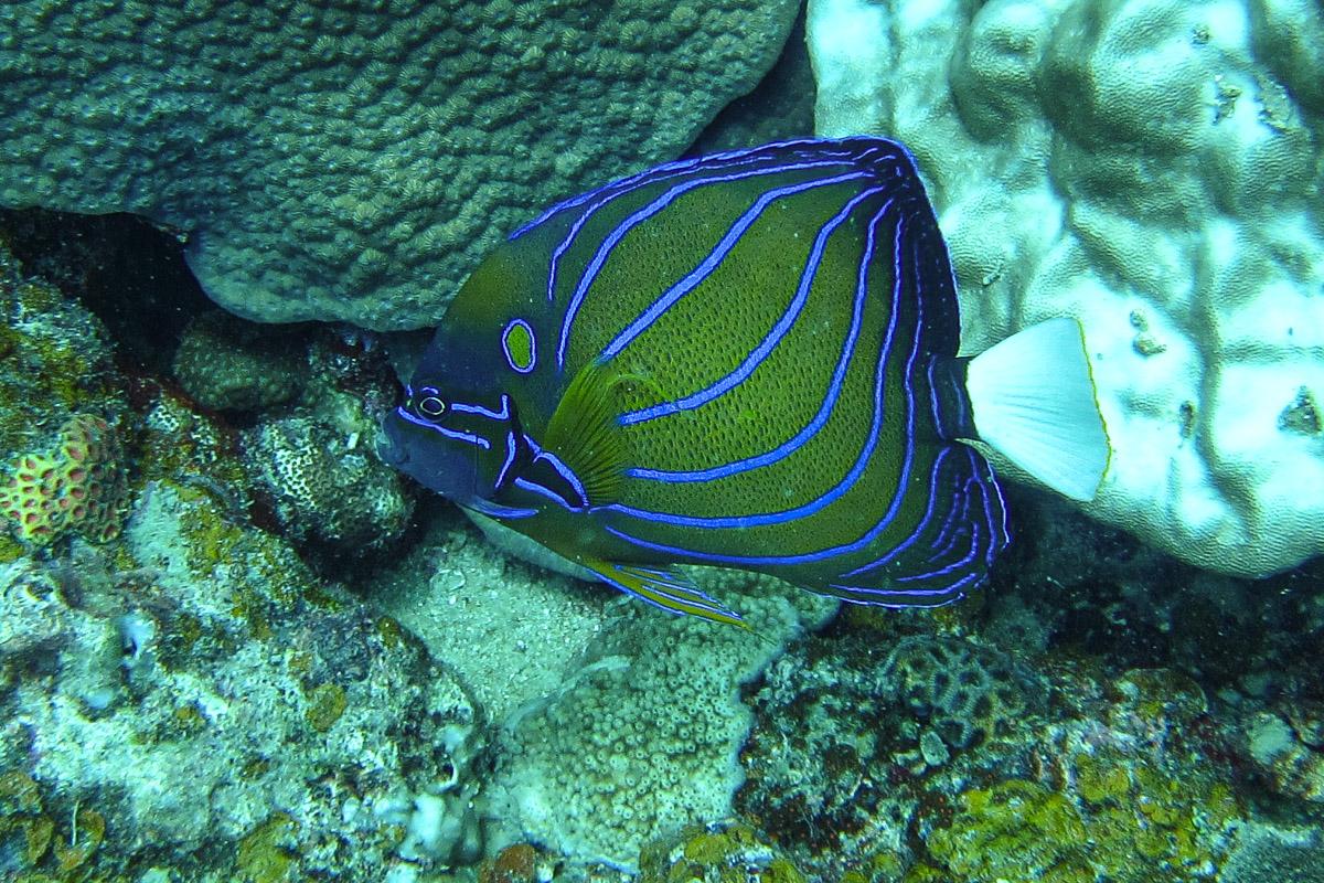 Blue Ring Angelfish - Perhentian Islands