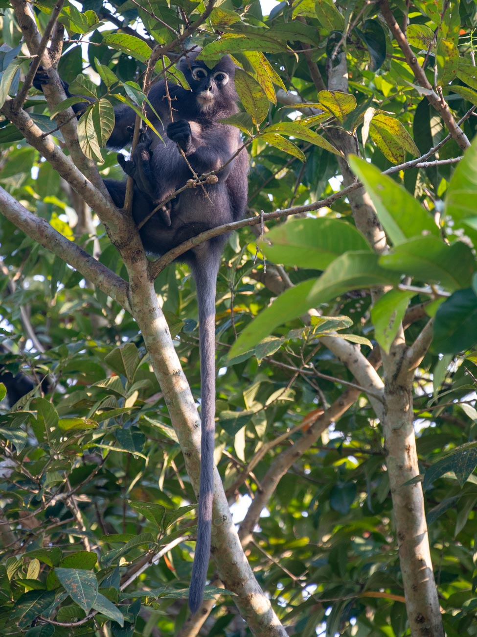 Dusky Leaf Monkey on Penang Hill- Things to see and do in Penang