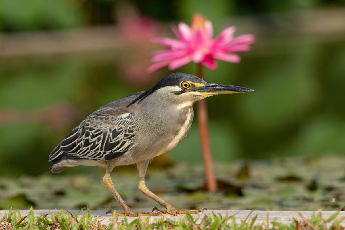 Striated Heron, Penang Botanic Gardens - Things to see and do in Penang