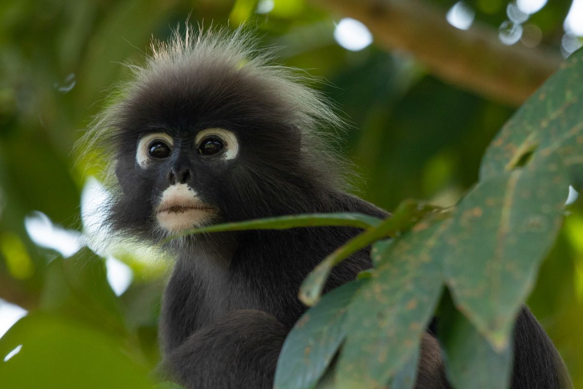 Dusky Leaf Monkey, Penang Botanic Gardens - Things to see and do in Penang