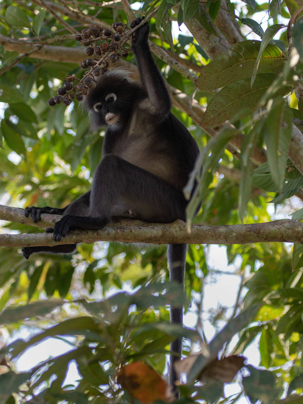 Dusky Leaf Monkey in Penang Botanic Gardens - Things to see and do in Penang