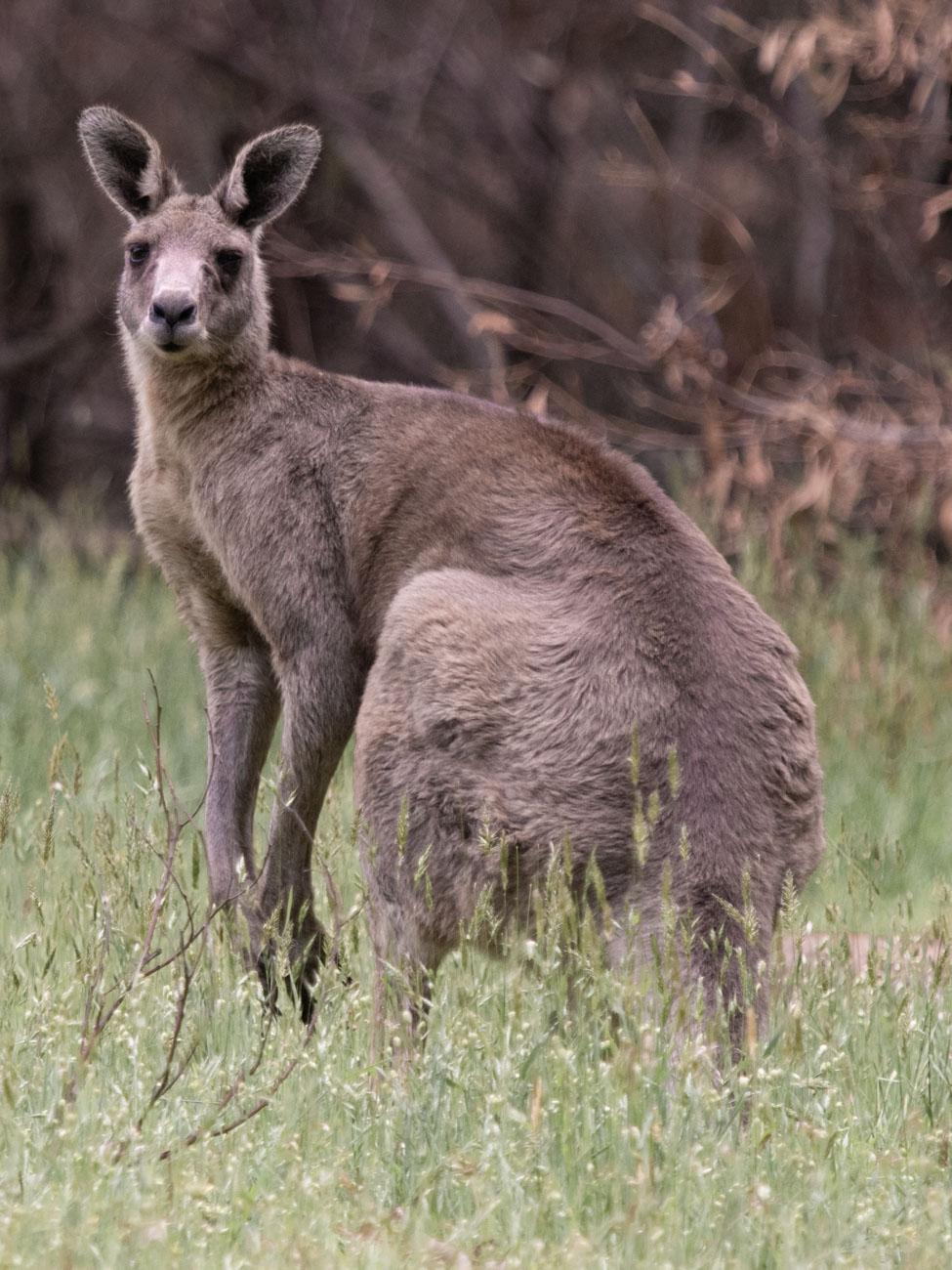 Kangaroo You Yangs