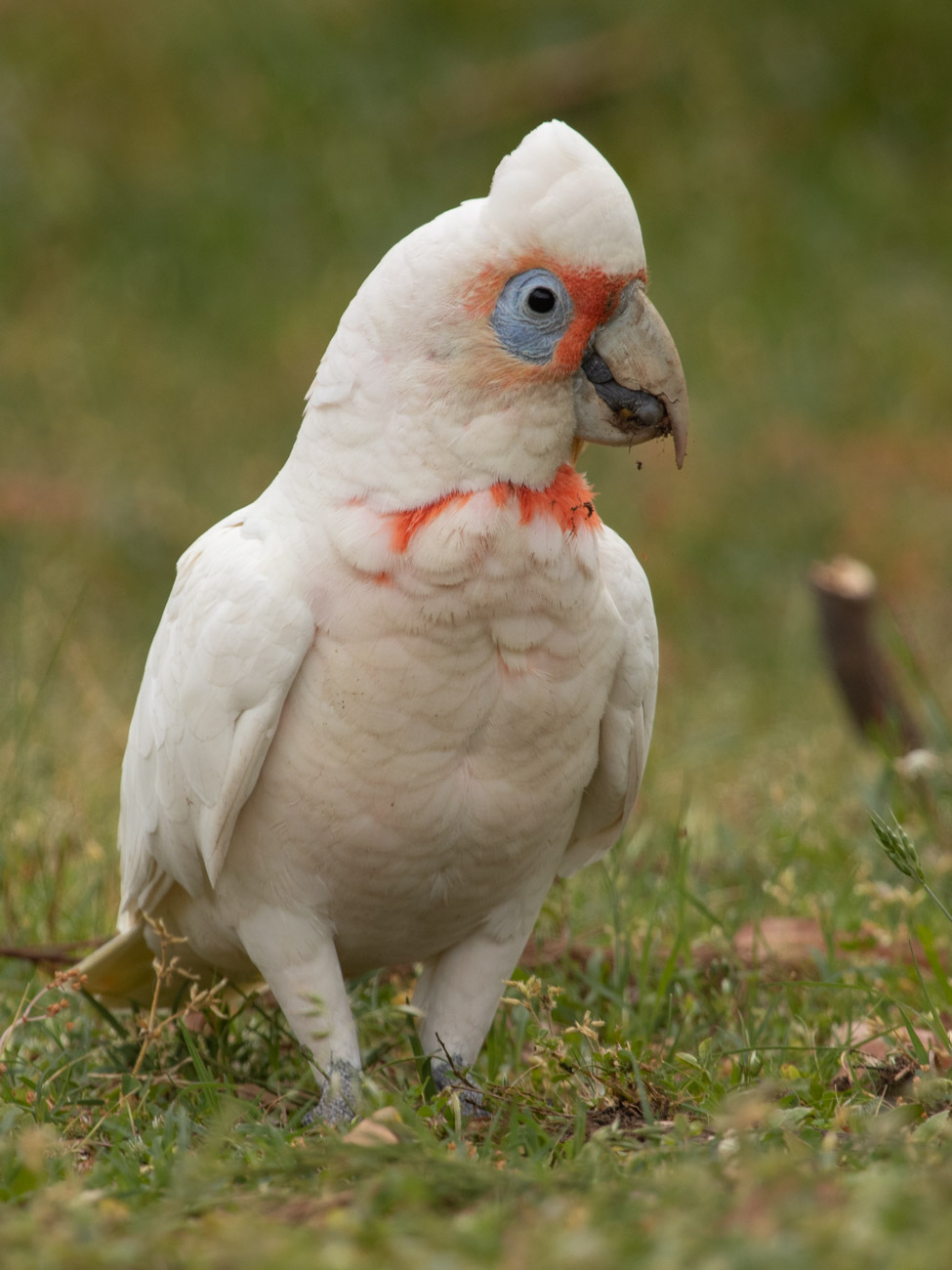 Long-Billed Corella - The Grampians Wildlife
