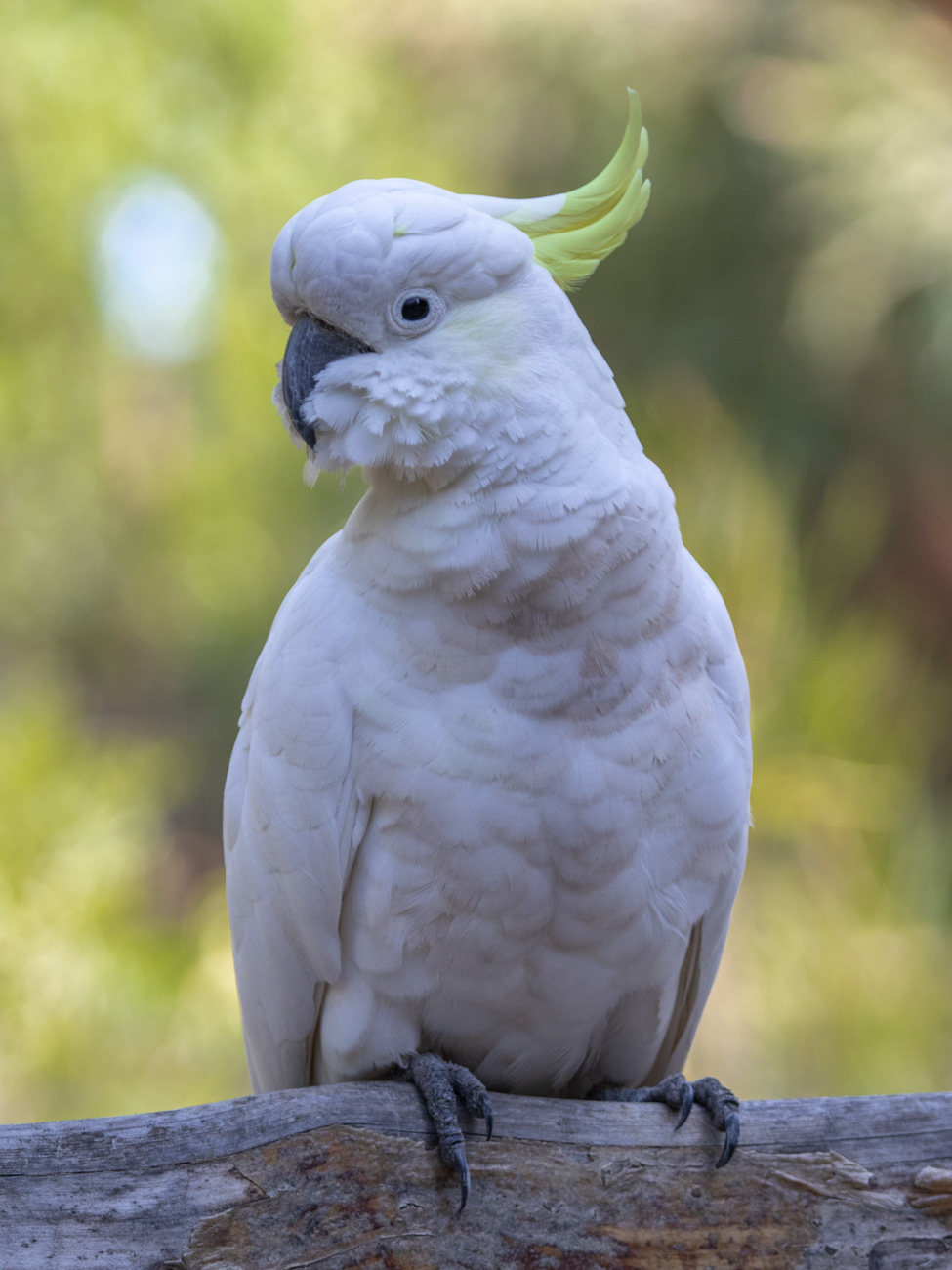 Sulphur-crested Cockatoo - The Grampians Wildlife