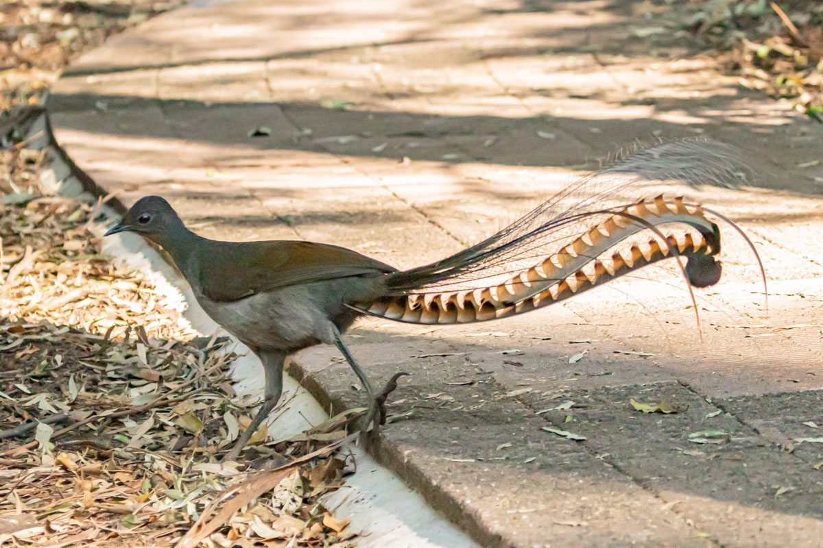 Male Lyrebird - The Falls Walk, Budderoo National Park