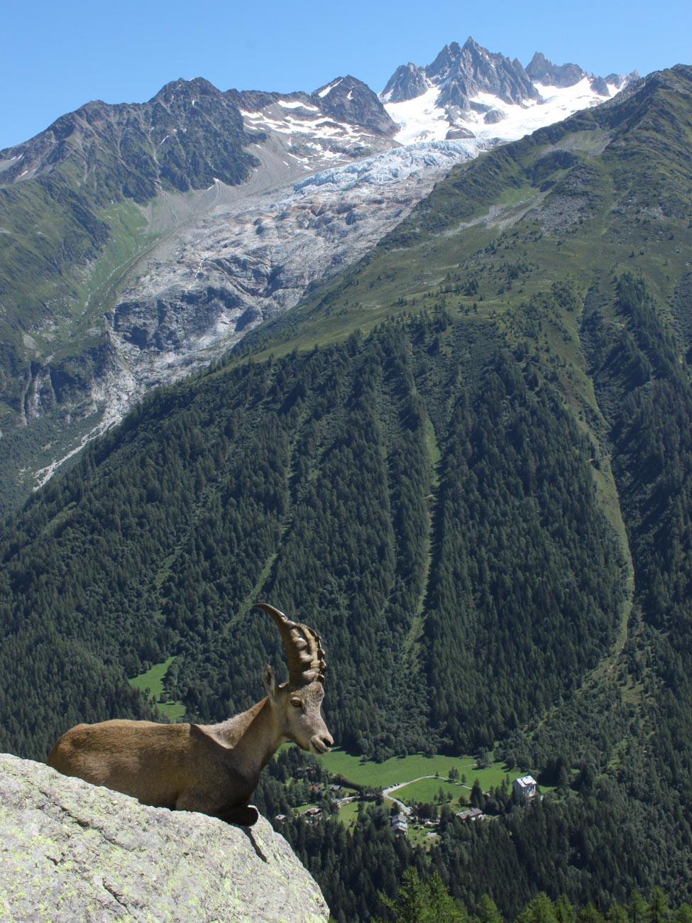 Alpine Ibex on Aiguillette d'Argentière on the Tré le Champ to La Flégère Hike