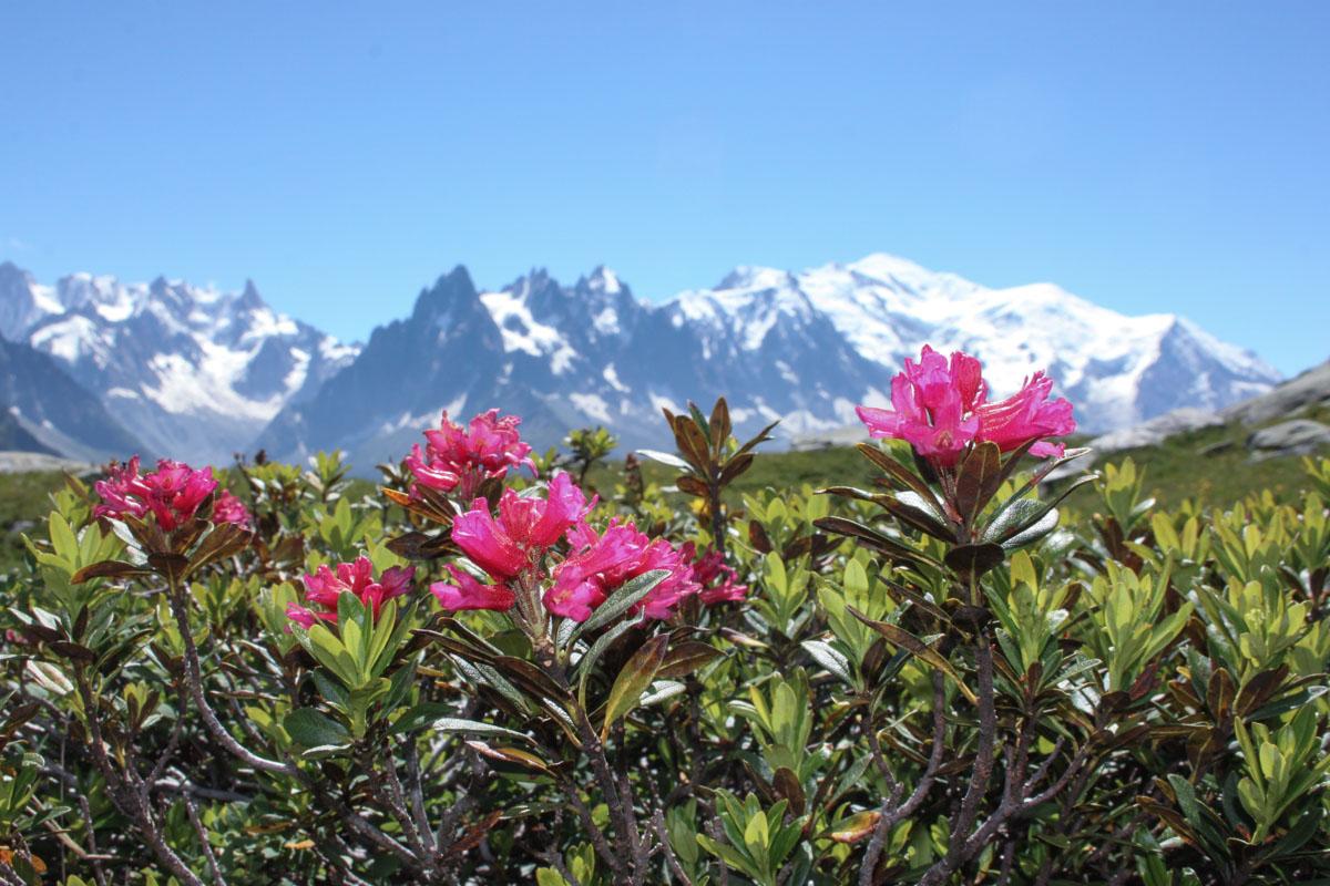 Alpenrose on the Tré le Champ to La Flégère trail