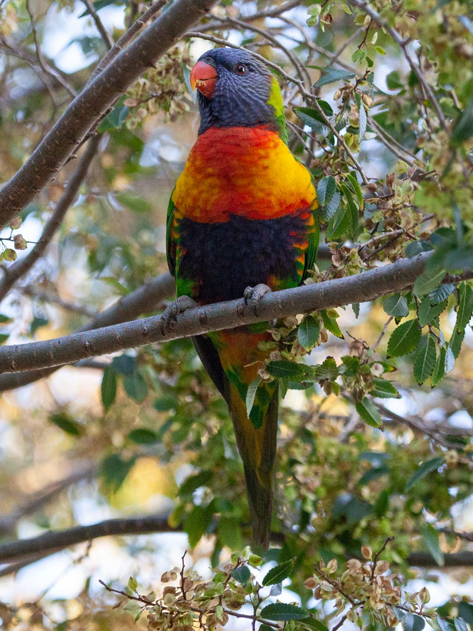 Rainbow Lorikeet - The Grampians Wildlife