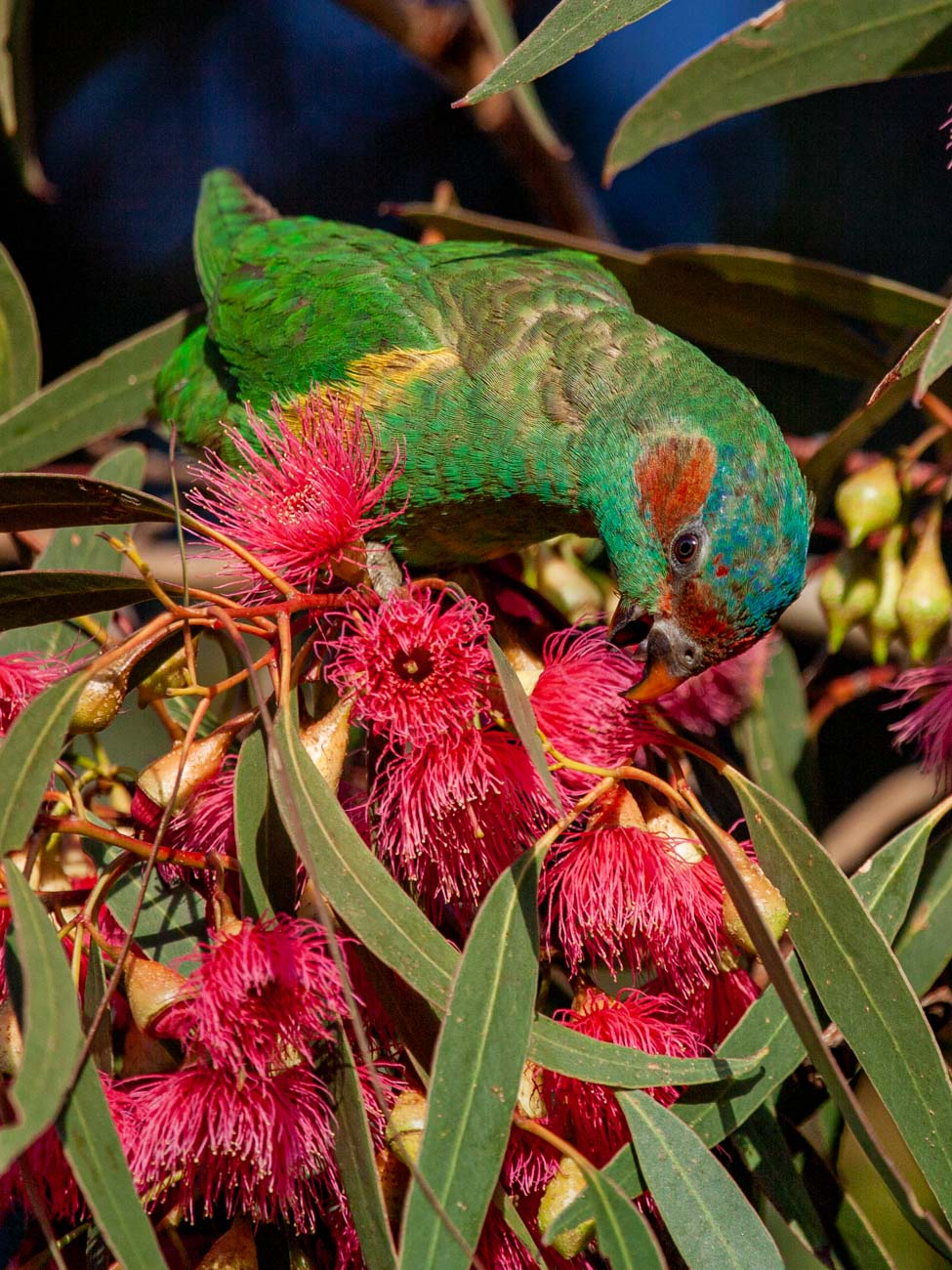Musk Lorikeet - The Grampians Wildlife